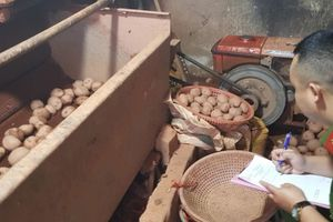 Khoai tây, cà rốt, bắp cải Trung Quốc 'biến' thành rau củ quả Đà Lạt như thế nào?