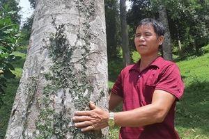 Ly kỳ cây trám độc nhất vô nhị 'đẻ ra tiền'