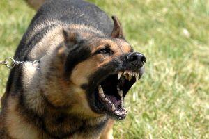 Làm thế nào để phòng tránh và thoát thân khi bị chó dữ cắn?