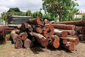 Vụ Phượng 'râu' buôn lậu gỗ: Chi cục Trưởng Kiểm lâm nộp 8m3 gỗ