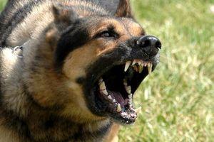Hãi hùng: Chó becgie cắn chủ tử vong
