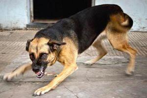 Hà Nội: Hãi hùng chó béc giê cắn chủ tử vong