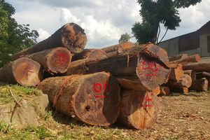 Gia đình chi cục trưởng kiểm lâm tự nguyện nộp 8 m3 gỗ không giấy tờ
