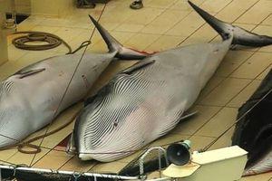 Nhật Bản bắt 177 cá voi, khẳng định cá voi không bị đe dọa tuyệt chủng