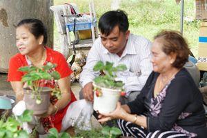 Độc đáo mô hình trồng dâu tây thủy cảnh ở xứ nóng Tây Ninh