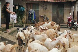 Hiệu quả mô hình nuôi dê sinh sản tại xã Yên Bình