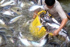Cá tra Việt Nam - kỳ vọng từ Đề án giống 3 cấp