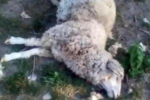 Lạ: 8 con cừu Ukraine bị hút cạn máu tận tim