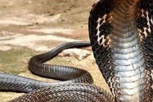Thót tim xem bẫy rắn hổ mang nặng 3 kg dài gần 3m ở Sài Gòn
