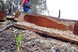 'Thảm sát' rừng tự nhiên để... trồng keo