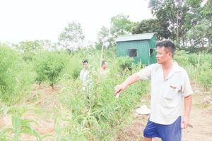 Thoát nghèo nhờ trồng đào