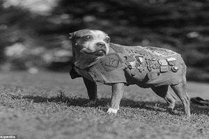 Chiến tích kinh ngạc của chú chó anh hùng trong Thế chiến 1