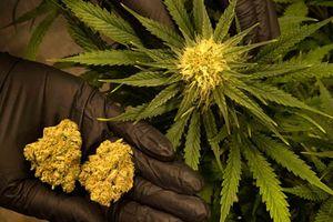 Cần sa - Marijuana: 'Mê chất' phá hủy cơ thể người