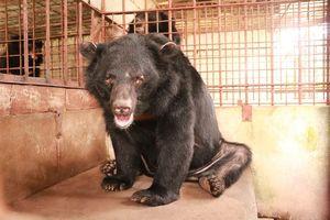 Chủ nuôi tự nguyện giao 5 cá thể gấu cho trung tâm bảo tồn