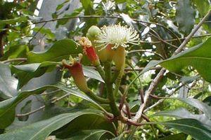 Ngừa ung thư và cải thiện sinh lý nhờ cây đinh hương