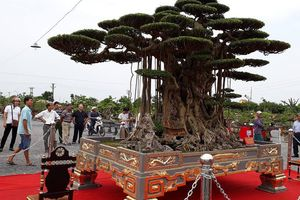 'Chơi ngông': Đại gia Thái Bình dát vàng cho chậu cây sanh cổ