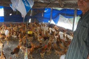 'Lão gàn' xứ Quảng biến 'sa mạc' thành trại gà thả vườn tiền tỷ