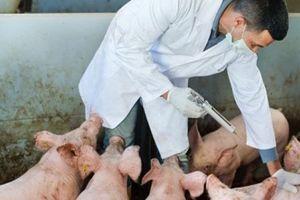 Sau bài lạm dụng kháng sinh trong TĂCN: Thủ tướng giao Bộ NNPTNT xử lý