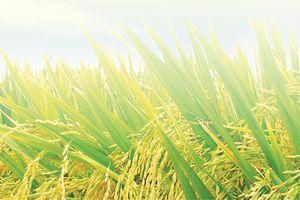 Công ty Giống cây trồng Miền Nam chuẩn bị hủy niêm yết