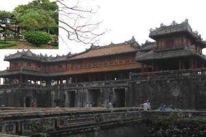 Cây thông trăm tuổi có dáng kỳ dị bậc nhất Hoàng Thành triều Nguyễn