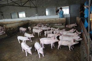 Trung Quốc lao đao vì dịch tả lợn châu Phi, Việt Nam khẩn cấp đề phòng