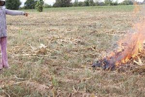 Xót xa cánh đồng ngô hơn 100ha khô cháy, phải chặt bỏ cho bò ăn