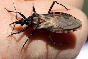 Bọ xít hút máu lây bệnh ký sinh trùng nguy hiểm tại Mỹ