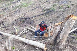 'Làm sạch' những cây gỗ tự nhiên để trồng lại rừng?