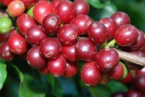 Giá nông sản hôm nay 31/8: Giá cà phê giảm sâu, dưới 33.000 đồng/kg, giá tiêu ít biến động
