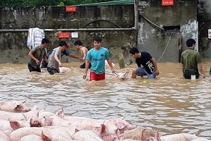 Thanh Hóa: Thức trắng đêm cứu hàng nghìn con lợn bị ngập trong nước lũ
