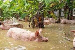 Trang trại bị ngập, hàng nghìn con lợn bơi trong nước lũ ở Thanh Hóa