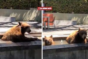 3 mẹ con gấu 'hồn nhiên' vào nhà dân... tắm nhờ vì quá nóng