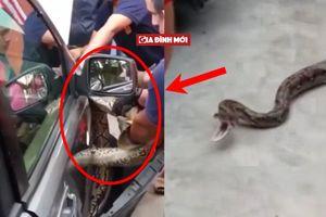 'Đứng hình' với những con rắn khổng lồ làm tổ trong xe ô tô