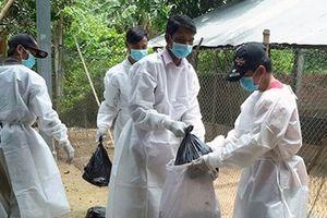 Dịch cúm gà có nguy cơ bùng phát tại tỉnh Tboung Khmum giáp Việt Nam