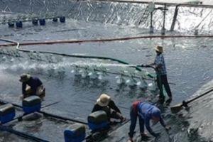 'Tỷ phú' khét tiếng nuôi tôm xứ Nẫu, thu nhập 15 tỷ đồng mỗi năm