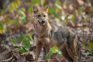 Khám phá thú vị ít ai biết về sói rừng Việt Nam quý hiếm