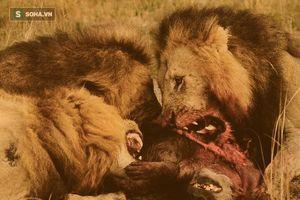 Linh cẩu trả giá đắt vì đánh cắp thức ăn của bầy sư tử.