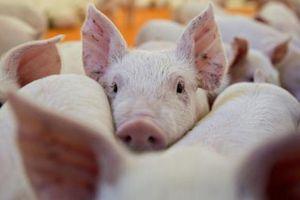 Trung Quốc tích cực kiểm soát dịch cúm lợn châu Phi