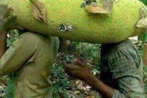 Xôn xao trồng giống mít khủng dài gần 1m, một quả chín cả xóm ăn no