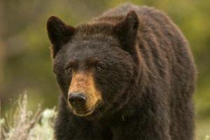 Thợ săn Mỹ bắn trúng gấu đen khổng lồ và diễn biến đáng sợ