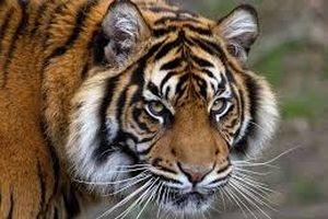 Ứng dụng phương pháp truy tìm tội phạm để cứu hổ hoang dã