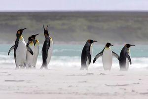 Vì Brexit, hơn triệu chim cánh cụt trước nguy cơ 'mất ăn, mất nhà'