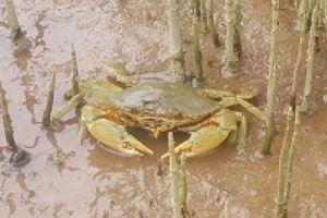 Theo chân ngư dân vào rừng săn đặc sản biển, kiếm nửa triệu/ngày