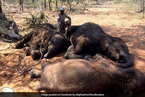 90 con voi rừng bị giết để lấy ngà tại Botswana