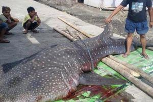 Mổ xác cá mập tắc thở, phát hiện điều đáng báo động