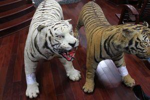 Bị tạm giữ vì sưu tầm thú nhồi bông có da loài hổ quý