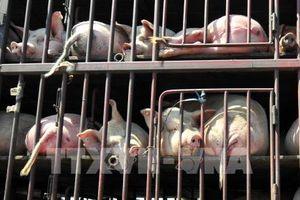9 nước cận Trung Quốc họp khẩn đối phó dịch cúm lợn châu Phi