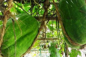 Điều chưa biết ở làng trồng nếp đặc sản, bí đao 'khủng' 100kg/quả