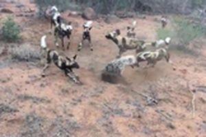 Linh cẩu 'tử chiến' với chó hoang để giành mồi
