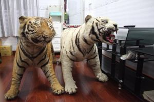 Người giữ 2 bộ da hổ trong nhà bị điều tra thêm hành vi lừa đảo